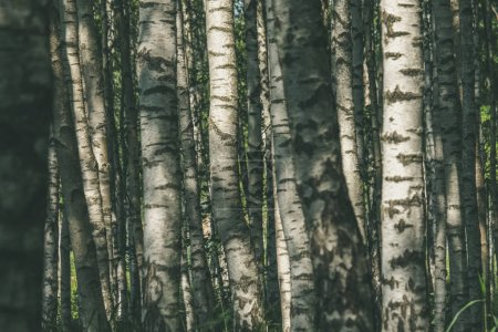 white birch tree trunks texture in overcast summer day with green foliage in forest