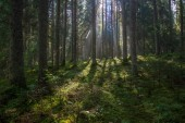 beautiful morning sunlight shining through trees in woods