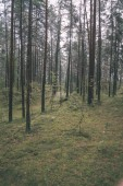 tree trunks in evergreen forest in overcast