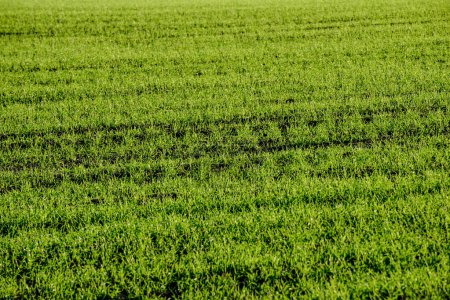 Photo for Green cultivated fields in countryside with straight lines. agriculture under clear sky - Royalty Free Image