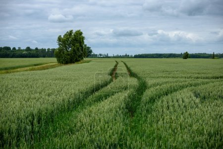 Foto de La cosecha de campos de trigo listo a finales de verano bajo el cielo azul con nubes blancas campo de pulg. - Imagen libre de derechos