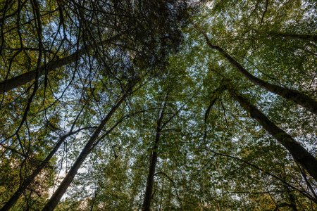 Photo pour Grands troncs d'arbres isolés dans une forêt verdoyante à fond flou. image décorative de nature - image libre de droit