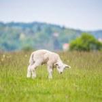 Newborn lamb in lush green meadow in Spring Time. ...