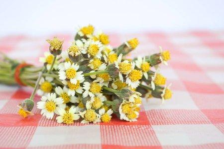 Fellknöpfe blühen auf Tischdecke
