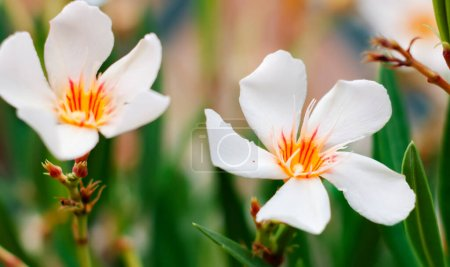 The white flower of an oleander plant. Gardening a...