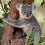 Koala joey hugs a tree branch surrounded by eucaly...