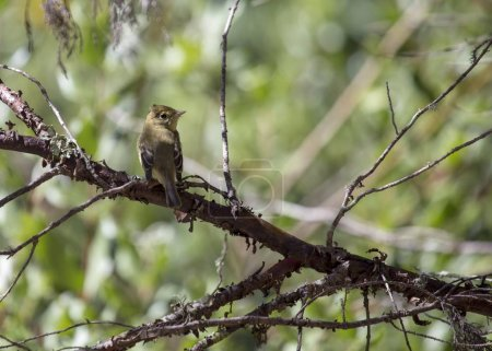Pacific-slope flycatcher (Empidonax difficilis) spotted in San Francisco