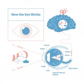 How the eye works medical scheme poster elegant and minimal vector illustration eye - brain labeled structure diagram Stylized and artistic medical design poster