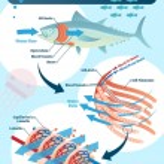 Fish respiratory system vector illustration. Label...