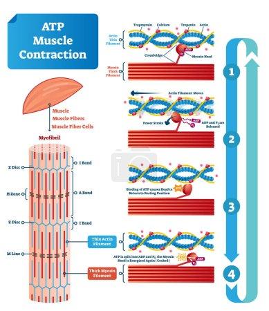 atp Muskelkontraktionszyklus Vektor Illustration beschriftet Bildungsschema