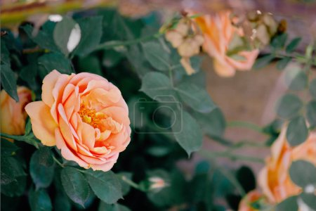 Photo for Bush with orange roses closeup - Royalty Free Image