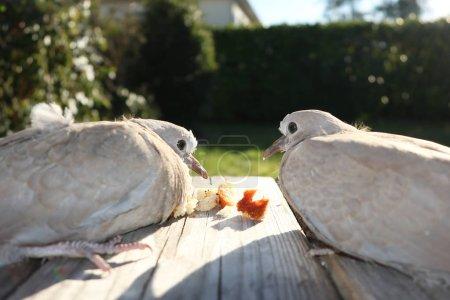 Photo pour Paire de tourterelles assises sur une branche de bois mangeant de la chapelure - image libre de droit
