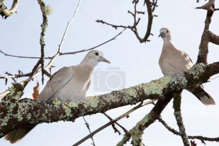 Photo pour Tourterelles deux couples d'oiseaux sur l'arbre - image libre de droit