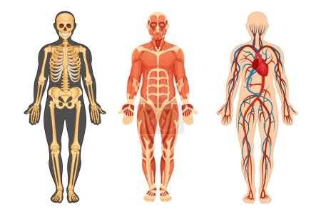 Structure of human skeleton muscular