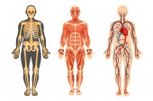 Poster Structure of human skeleton muscular