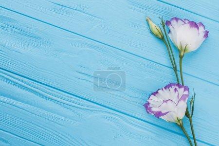 Purple lisianthus or eustoma flowers on blue wood background.