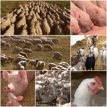 Collage of farm animals.