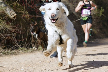 Photo for Several athletes and their dogs taking part in a popular canicross race - Royalty Free Image