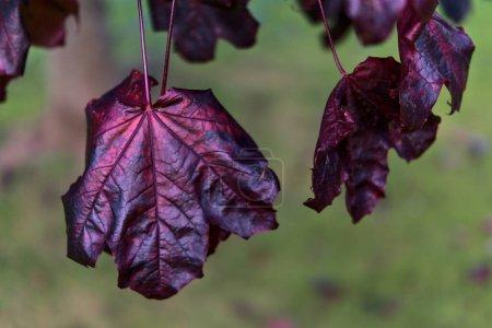 Photo for Beautiful dark-purple autumn leaves of Acer Platanoides Crimson King Norway maple tree on university campus, Dublin, Ireland - Royalty Free Image