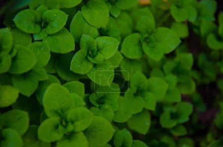 Close-up of green plants leaves in garden, full frame