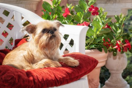 Photo for Brussels Griffon is resting on a chair on the terrace surrounded with flowerpots - Royalty Free Image