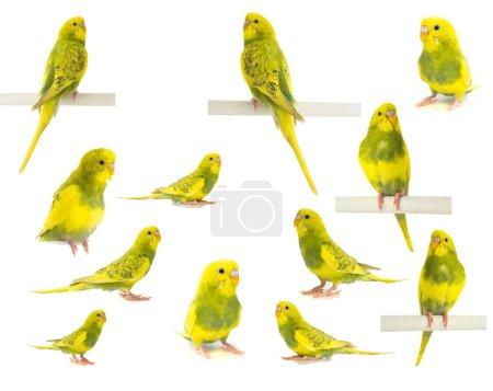Photo pour Perroquet ondulé jaune vert isolé sur fond blanc - image libre de droit