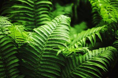 Photo pour Parfait motif naturel de fougère. Beau fond fait avec de jeunes feuilles de fougère verte . - image libre de droit