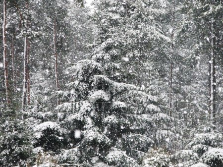 Photo for Snow falling in the forest winter landscape. - Royalty Free Image