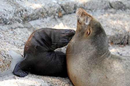 Cute sea lion cub with mother in nature