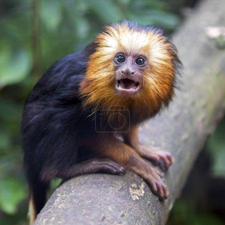 Photo pour Jeune lion tamarin, petit singe du Nouveau Monde - image libre de droit