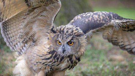 Photo pour Chouette aigle d'Eurasie dans l'habitat naturel - image libre de droit