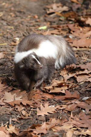 Skunk on autumn leaves in natural habitat