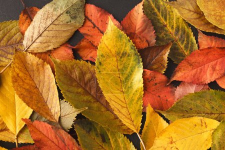 Photo for Colourful ash leaves background, closeup, copy space, top view. Autumn, fall, nature concept - Royalty Free Image