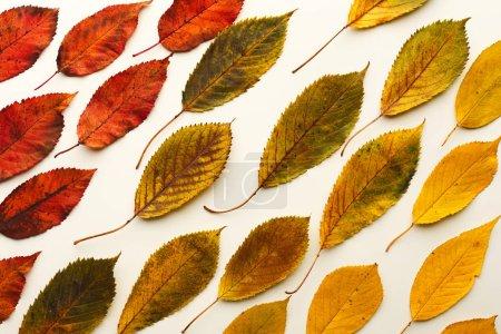 Photo pour Saison d'automne, motif de feuilles de frêne coloré isolé sur fond blanc avec espace de copie - image libre de droit