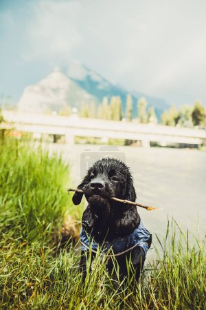 Photo pour Randonnée avec un chiot de Terre-Neuve dans les montagnes Rocheuses, Lake Louise, Banff, Canada - image libre de droit