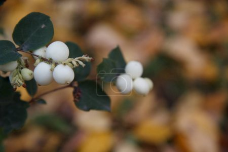 White berries,  Snowberry, wolf berry...