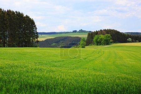 Foto de Campos verdes de trigo plantas jóvenes. Fondo natural . - Imagen libre de derechos
