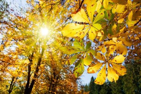 Foto de Las hojas de arce otoñal en el sol. Caída de fondo borroso. - Imagen libre de derechos