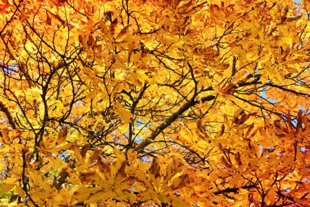 Photo for Autumn maple tree on the sunlight. Autumn background. - Royalty Free Image