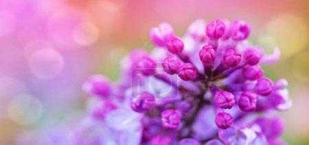 Photo pour Buisson lila mauve qui fleurit au printemps. Fond de fleurs - image libre de droit