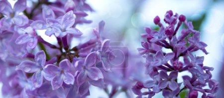 Photo pour Buisson lila mauve qui fleurit au printemps. Fond de fleurs. - image libre de droit
