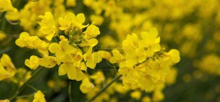 Photo pour Gros plan d'une plante de colza oléagineux  . - image libre de droit
