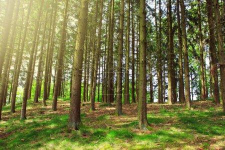 Baumstämme im sonnigen Sommerwald mit Schatten und Sonnenstrahlen im Hintergrund.