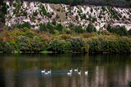 Photo for Very beautiful white swans floating in lake , peaceful moment. Wild nature with birds. - Royalty Free Image