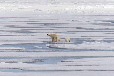 Polar bear mother (Ursus maritimus) and twin cubs ...