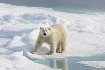Polar bear (Ursus maritimus) on the pack  ice nort...