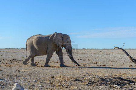 Wild elephant walking in the African savanna...