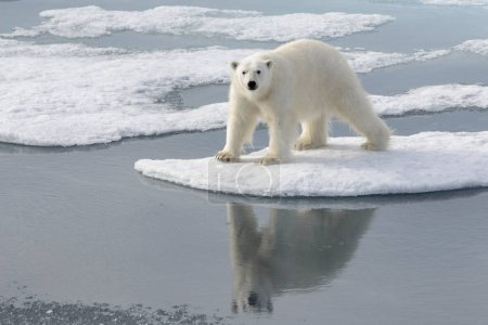 Photo for Wild polar bear on pack ice in Arctic - Royalty Free Image