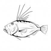 John Dory (Zeus faber) Sea Food Zeus Faber Sea FishTasty Seafood Ocean Sport Fishing Fresh Seafood Product Delicious John Dory Fish Meal Diet Zeus faber Fishing Vector graphics to design