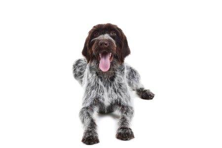 German pointer dog isolated on white background